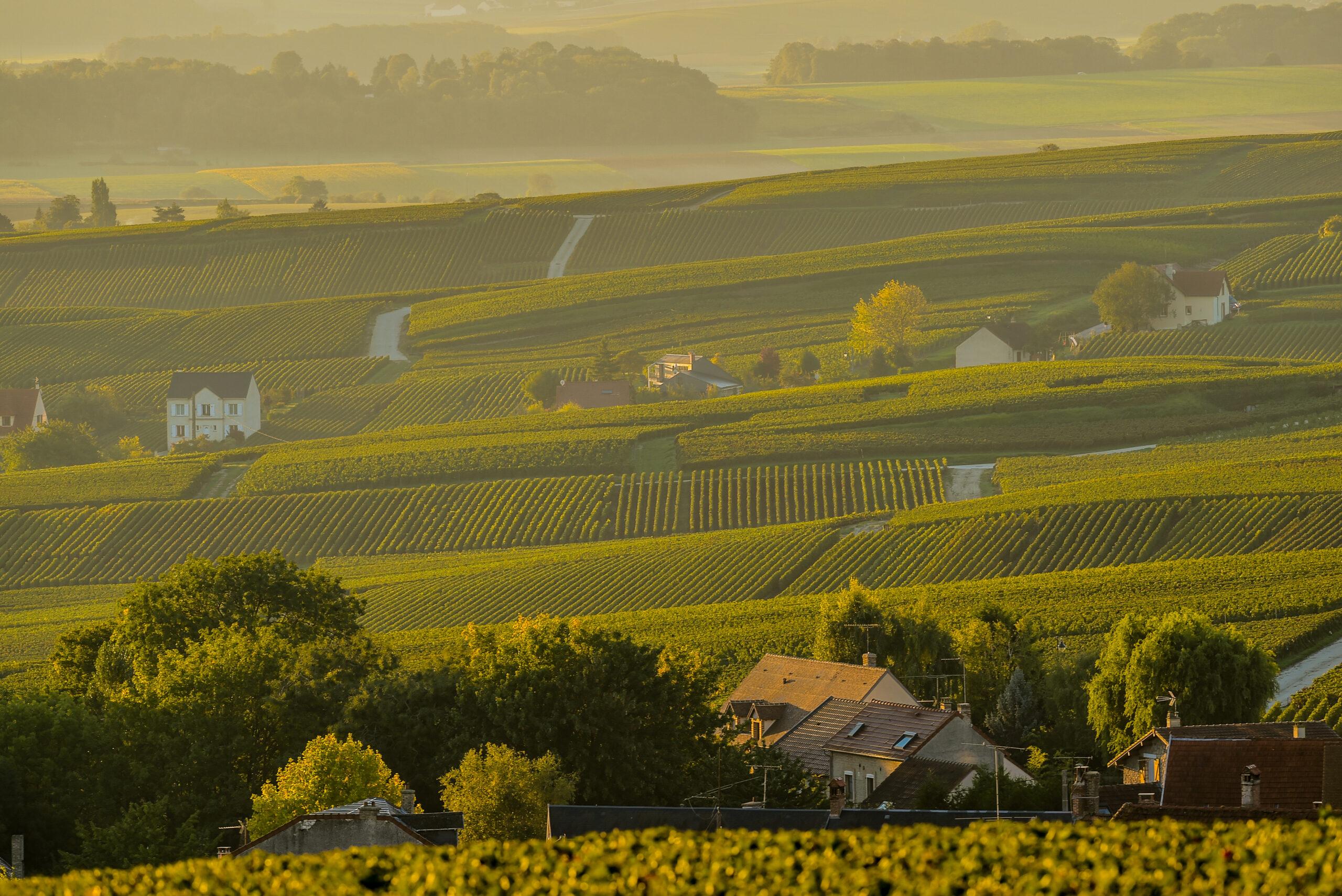 Champagne vineyards Villedomange in Marne department, Champagne-Ardennes, France, Europe.