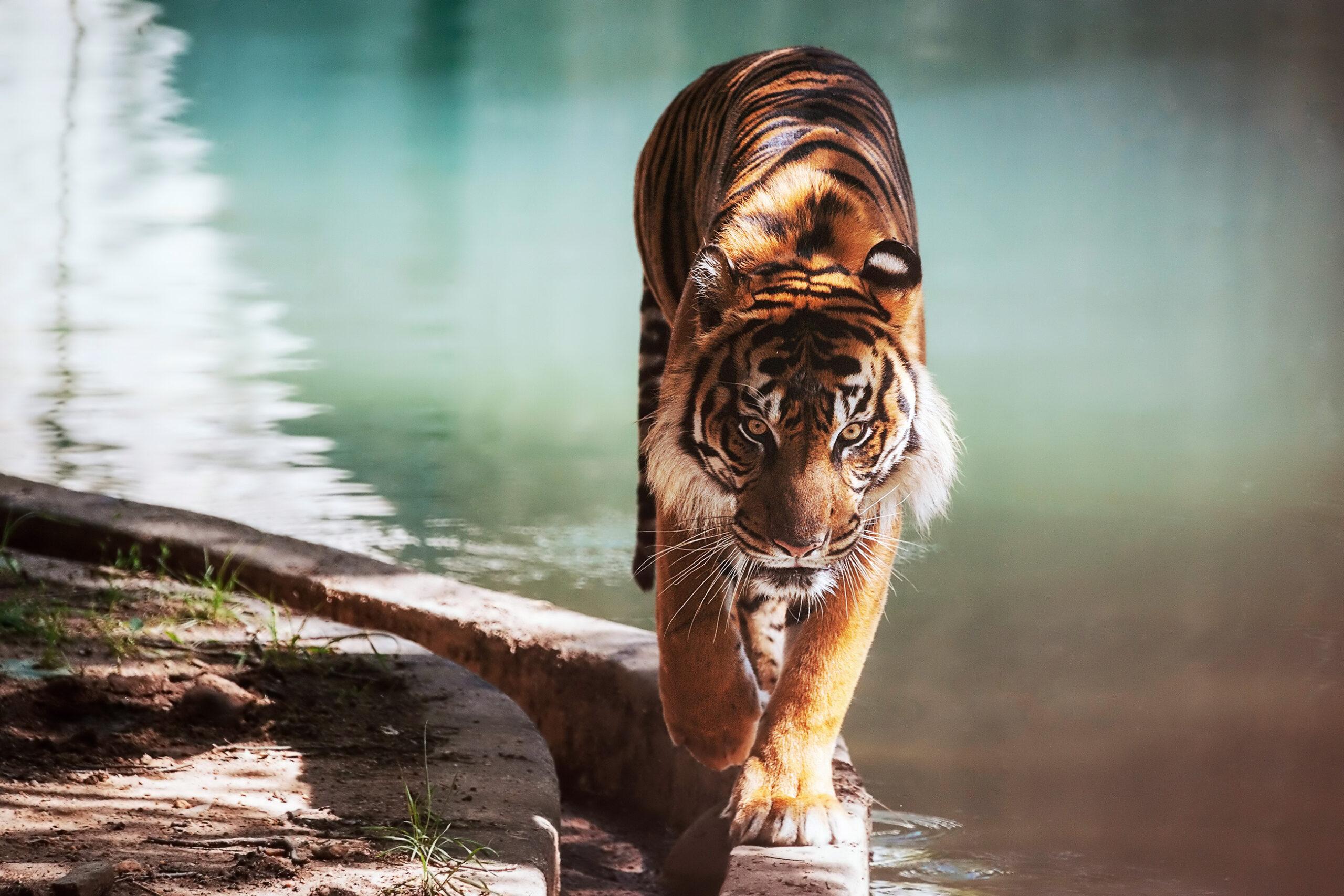 Amur tiger at Smithsonian Zoo in Washington DC.