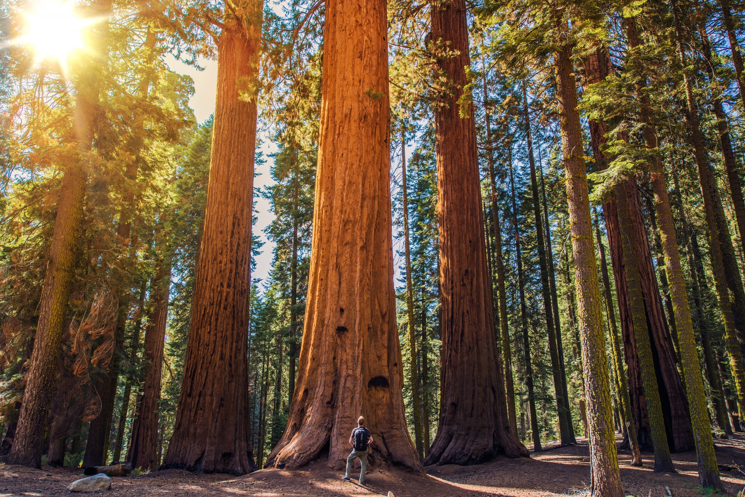 Sequoia vs Man. Giant Sequoias Forest and the tourist with backpack.